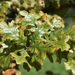 Quercus velutina (Black Oak), inflorescence