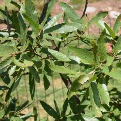 Quercus velutina (Black Oak), bark, branch