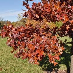 Quercus texana (Nuttall's Oak), bark, trunk