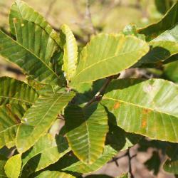Quercus velutina (Black Oak), bud, lateral