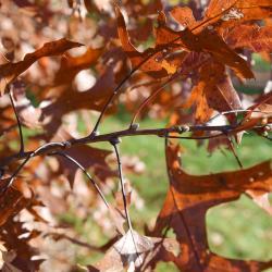 Quercus velutina (Black Oak), flower, staminate