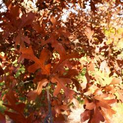 Quercus texana (Nuttall's Oak), habit, spring