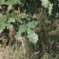Quercus velutina (Black Oak), bark, mature