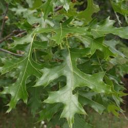 Quercus velutina (Black Oak), habitat
