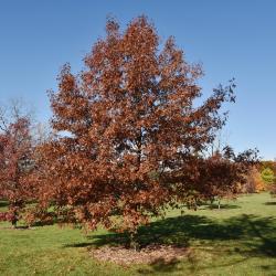 Quercus velutina (Black Oak), habit, young