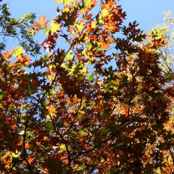 Quercus velutina (Black Oak), leaf, lower surface