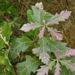 Quercus velutina (Black Oak), leaf, summer