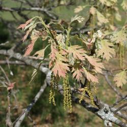 Quercus velutina (Black Oak), habit, seedling