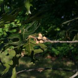 Quercus velutina (Black Oak), habit, spring