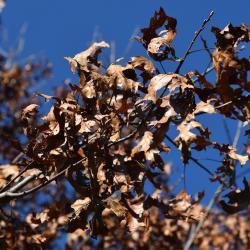 Quercus x bebbiana 'Taco' (Taco Bebb's Oak), leaf, new