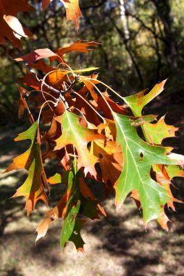 Quercus velutina (Black Oak), leaf, fall