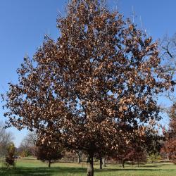 Quercus ×bebbiana 'Taco' (Taco Bebb's Oak), leaf, fall