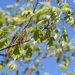 Quercus x bebbiana 'Taco' (Taco Bebb's Oak), leaf, lower surface