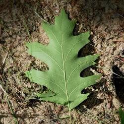 Quercus velutina (Black Oak), leaf, spring