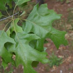 Quercus velutina (Black Oak), stump, cross section