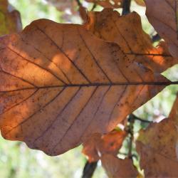 Quercus ×deamii (Deam's Oak), inflorescence