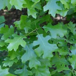 Quercus velutina (Black Oak), leaf, upper surface
