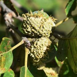 Quercus ×macdanielii 'Clemons' PP 11431 (HERITAGE® Macdaniel's Oak), bark, twig