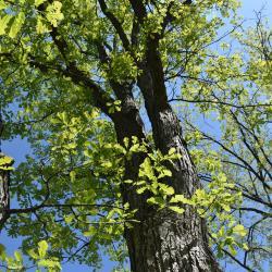 Quercus ×macdanielii 'Clemons' PP 11431 (HERITAGE® Macdaniel's Oak), fruit, mature