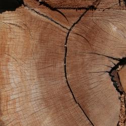 Quercus georgiana (Georgia oak), leaves detail