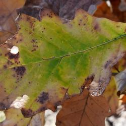 Quercus ×deamii (Deam's Oak), habit, spring