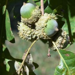 Quercus ×macdanielii 'Clemons' PP 11431 (HERITAGE® Macdaniel's Oak), bark, trunk