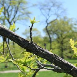 Quercus ×macdanielii 'Clemons' PP 11431 (HERITAGE® Macdaniel's Oak), inflorescence
