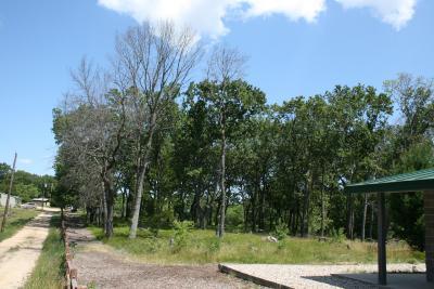 Quercus velutina (Black Oak), oak wilt