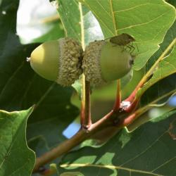 Quercus ×guadalupensis (Guadalupe Oak), bark, branch