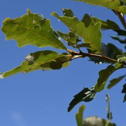 Quercus ×guadalupensis (Guadalupe Oak), bark, twig
