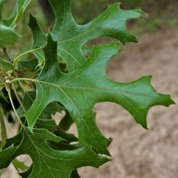 Quercus velutina (Black Oak), leaf, winter