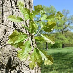 Quercus ×macdanielii 'Clemons' PP 11431 (HERITAGE® Macdaniel's Oak), habit, fall