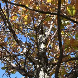 Quercus ×deamii (Deam's Oak), bark, trunk