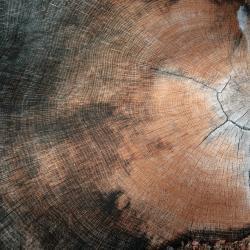 Quercus gambelii (Gambel's oak), caged trees