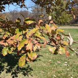 Quercus ×deamii (Deam's Oak), fruit, immature