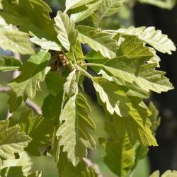 Quercus ×macdanielii 'Clemons' PP 11431 (HERITAGE® Macdaniel's Oak), habit, spring