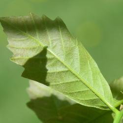 Quercus ×deamii (Deam's Oak), leaf, spring