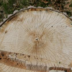 .Quercus imbricaria (shingle oak), habit, summer