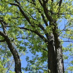Quercus ×guadalupensis (Guadalupe Oak), leaf, new