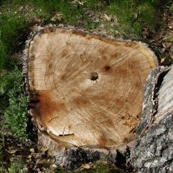 Quercus ×bebbiana 'Taco' (Taco Bebb's Oak), bark, mature