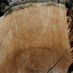 Quercus imbricaria (shingle oak), Floyd Swink standing next to young tree