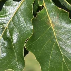 Quercus ×guadalupensis (Guadalupe Oak), habit, spring