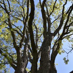 Quercus ×guadalupensis (Guadalupe Oak), leaf, spring