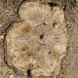 Quercus imbricaria (shingle oak), habit, summer