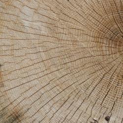 Quercus imbricaria (shingle oak), habit, fall