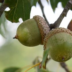 Quercus ×warei 'Nadler' PP 17604 (KINDRED SPIRIT™ Ware's Oak), leaf, fall