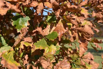Quercus ×warei (Ware's Oak), leaf, fall