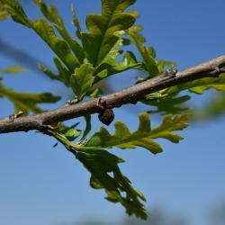 Quercus ×macdanielii 'Clemons' PP 11431 (HERITAGE® Macdaniel's Oak), leaf, fall