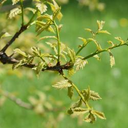 Quercus ellipsoidalis (Hill's Oak), bark, mature