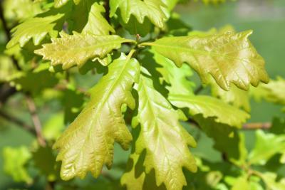 Quercus ×macdanielii 'Clemons' PP 11431 (HERITAGE® Macdaniel's Oak), leaf, upper surface